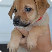 Adopt A Pet :: Adam - Danbury, CT