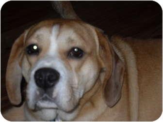 Beagle/English Bulldog Mix Dog for adoption in Newport, Vermont - Brock