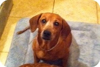 Dachshund/Beagle Mix Dog for adoption in Pearland, Texas - Hilde