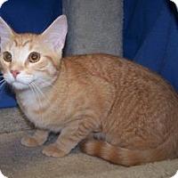 Adopt A Pet :: Becca - Colorado Springs, CO