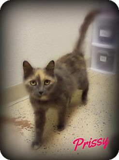 Domestic Shorthair Cat for adoption in Pekin, Illinois - Prissy