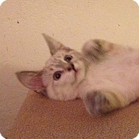 Adopt A Pet :: siamese girl - Santa Rosa, CA