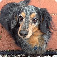 Adopt A Pet :: *Gordon - PENDING - Westport, CT