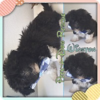 Adopt A Pet :: Winston - South Gate, CA