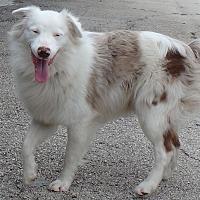 Australian Shepherd/Border Collie Mix Dog for adoption in Seguin, Texas - Blue
