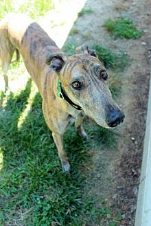 Greyhound Dog for adoption in Randleman, North Carolina - Tyrone