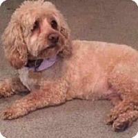 Adopt A Pet :: Callie - Flushing, NY
