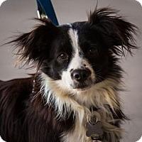 Spaniel (Unknown Type) Mix Dog for adoption in Hillside, Illinois - Pitufina