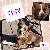 Adopt A Pet :: Tiny - Wichita Falls, TX