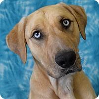 Adopt A Pet :: Samson - Eureka, CA