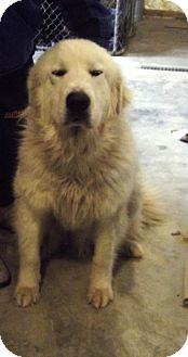 Great Pyrenees Dog for adoption in Morgantown, West Virginia - Aiko