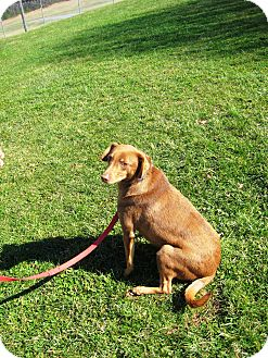 Labrador Retriever/Doberman Pinscher Mix Dog for adoption in Greencastle, North Carolina - Coke