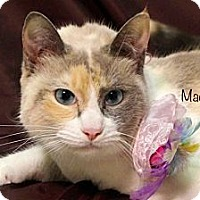 Domestic Shorthair Cat for adoption in Kerrville, Texas - Maddie