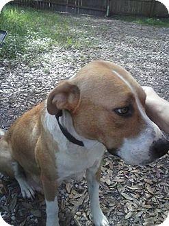 Catahoula Leopard Dog/American Bulldog Mix Dog for adoption in Tampa, Florida - LOVIE (TH)