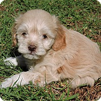 Adopt A Pet :: Linus - La Habra Heights, CA