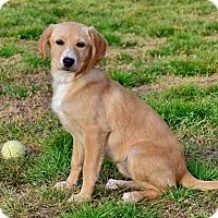 Adopt A Pet :: Lindsey - New Canaan, CT