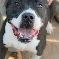 American Bulldog Mix Dog for adoption in Bertram, Texas - Floyd
