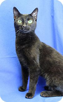 Domestic Shorthair Cat for adoption in Winston-Salem, North Carolina - Puma