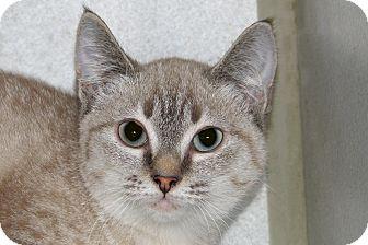 Siamese Kitten for adoption in Ruidoso, New Mexico - Tess