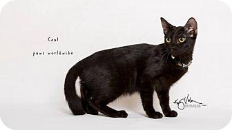 Siamese Cat for adoption in Corona, California - COAL