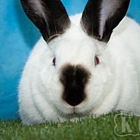 Adopt A Pet :: Bean - Pflugerville, TX