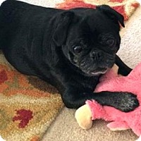 Adopt A Pet :: Gigi - Bellbrook, OH