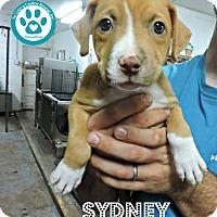 Adopt A Pet :: Sydney - Kimberton, PA