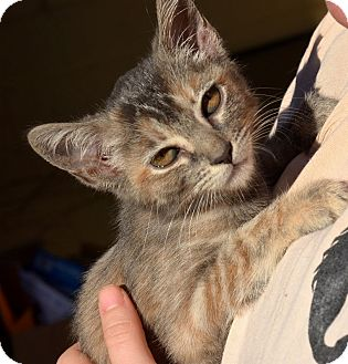 American Shorthair Kitten for adoption in Brooklyn, New York - Tiger Lily