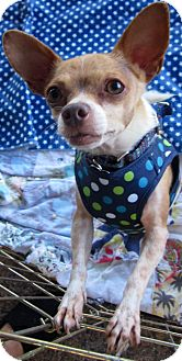 Chihuahua Mix Dog for adoption in San Diego, California - Harley