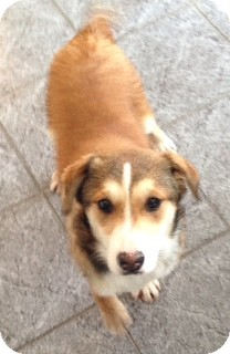 Australian Shepherd Mix Puppy for adoption in Upper Saddle River, New Jersey - Willow