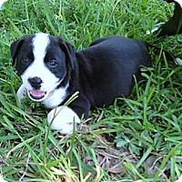 Adopt A Pet :: Uno (female) - Houston, TX