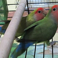 Adopt A Pet :: Loco & Novia - Edgerton, WI