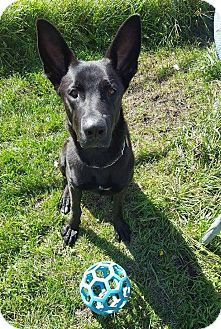 German Shepherd Dog Mix Dog for adoption in Winnipeg, Manitoba - SHADOW
