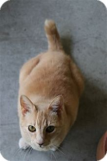 Domestic Shorthair Cat for adoption in Lincoln, California - J.D.