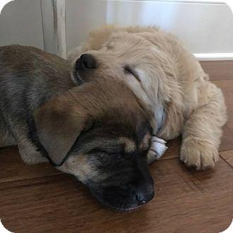 Labrador Retriever/Poodle (Standard) Mix Puppy for adoption in Girard, Georgia - Meadow