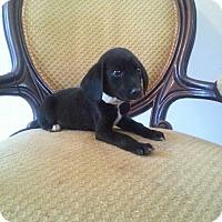 Adopt A Pet :: Lil Moe - Gaithersburg, MD