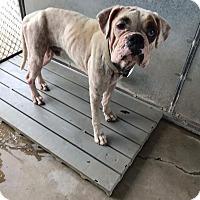 Adopt A Pet :: Nealon - Austin, TX