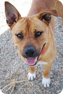 Rhodesian Ridgeback/Staffordshire Bull Terrier Mix Dog for adoption in Torrance, California - BRYNN