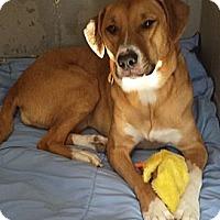 Adopt A Pet :: Goldie - Franklin, NH