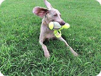 Weimaraner Dog for adoption in Murfreesboro, Tennessee - Daisy