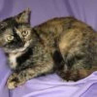 Domestic Shorthair Cat for adoption in Powell, Ohio - Tansy