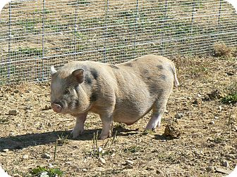Pig (Potbellied) for adoption in Georgetown, Kentucky - Milo