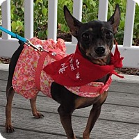 Miniature Pinscher Dog for adoption in Pompano beach, Florida - Lil Bella