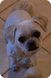 Shih Tzu Mix Dog for adoption in Cambridge, Ontario - Dash