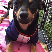 Adopt A Pet :: CHESTER - Glendale, AZ