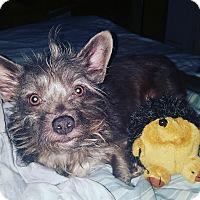 Adopt A Pet :: Wolfie - Cerritos, CA