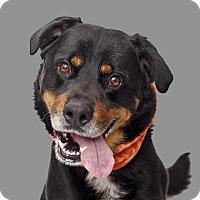 Adopt A Pet :: Heismann - Mission Hills, CA
