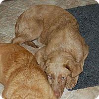 Adopt A Pet :: Miles - Denver, CO