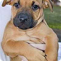 Adopt A Pet :: Akatsuti handsome boy - Sacramento, CA