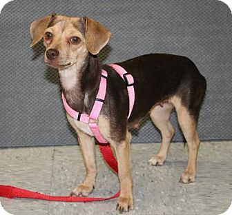 Dachshund/Chihuahua Mix Dog for adoption in Phoenix, Arizona - CeCe